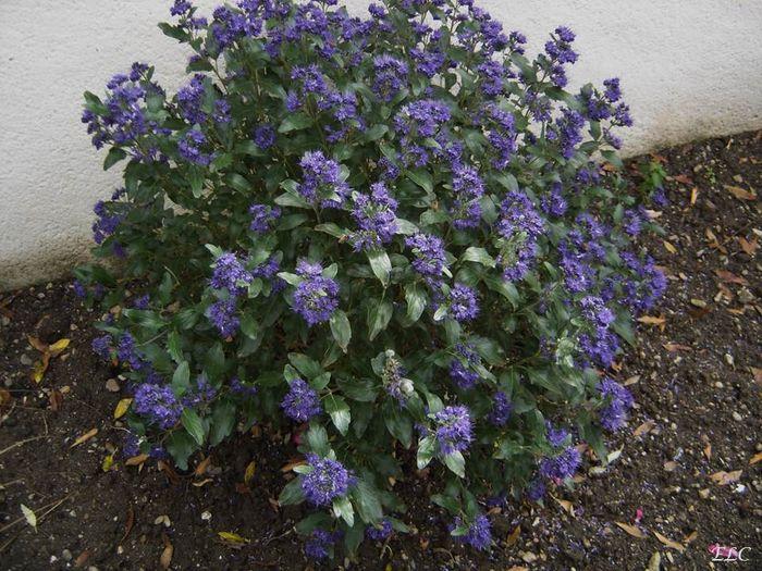 Npds page sp ciale pour impression caryopteris for Arbuste a fleur pas cher