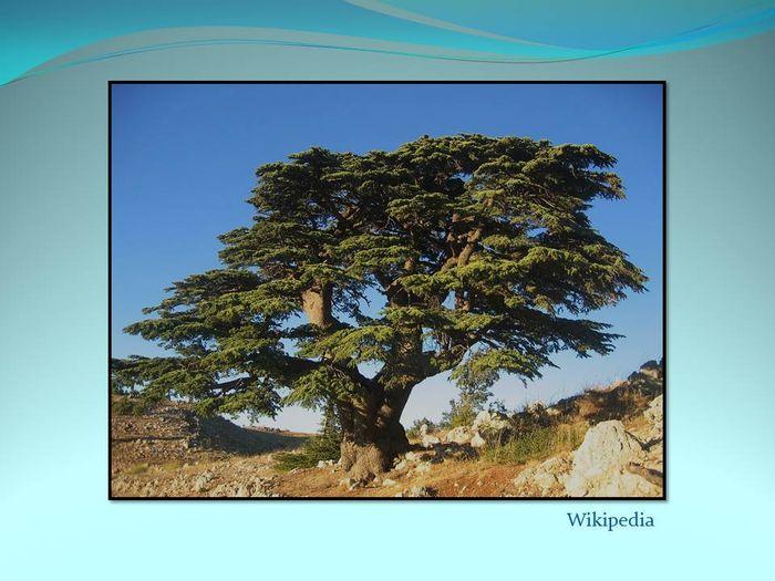 C dre bleu pleureur de l 39 atlas les recits d 39 eliane et ferdy los - Cedre bleu du liban ...